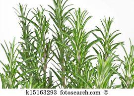 Rosmarinus officinalis Stock Photo Images. 2,148 rosmarinus.