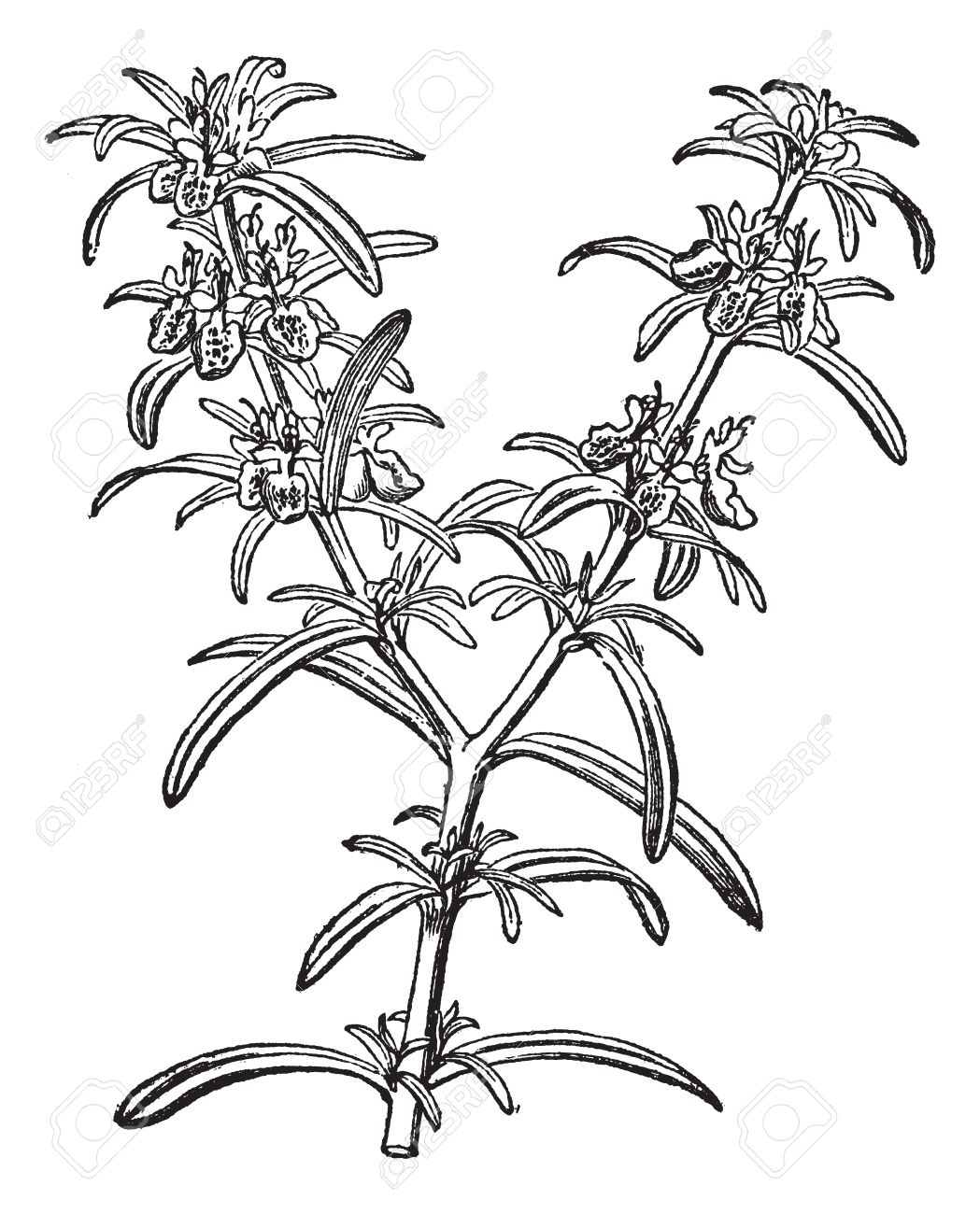 Rosemary Or Rosmarinus Officinalis, Vintage Engraving. Old.