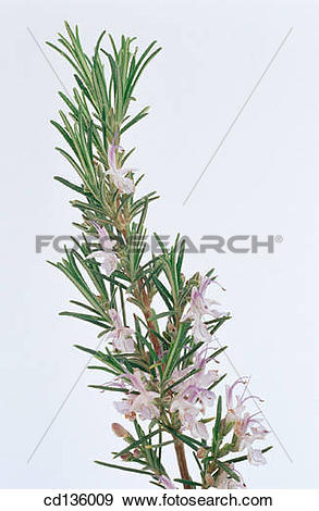 Stock Photograph of Rosemary (Rosmarinus officinalis) cd136009.