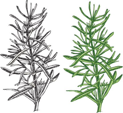 Rosmarinus Officinalis Clip Art, Vector Images & Illustrations.