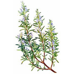 Rosemary (Rosmarinus officinalis) 10 ml.