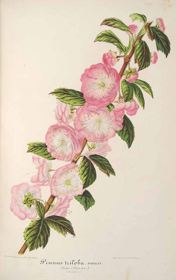 L' Illustration horticole, vol. 8: t. 308 (1861) family: Rosaceae.