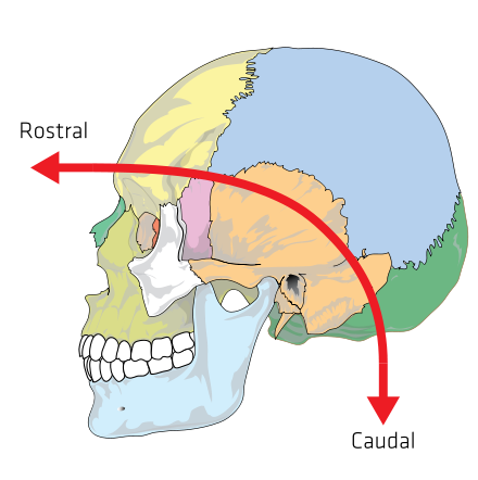 Anatomical terms of location.