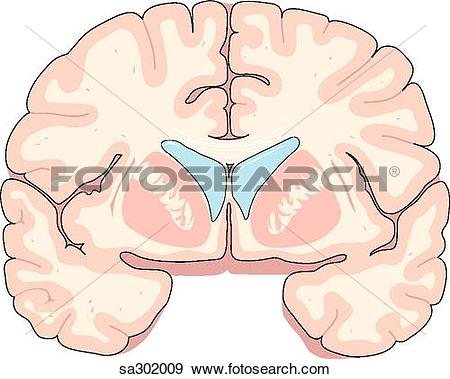 Stock Illustration of Coronal section of brain through the.
