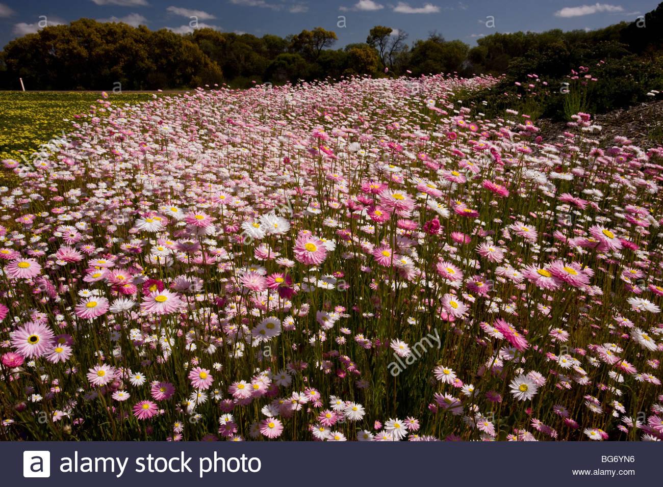 Rosy Sunray Or Pink And White Everlasting, Rhodanthe Chlorocephala.
