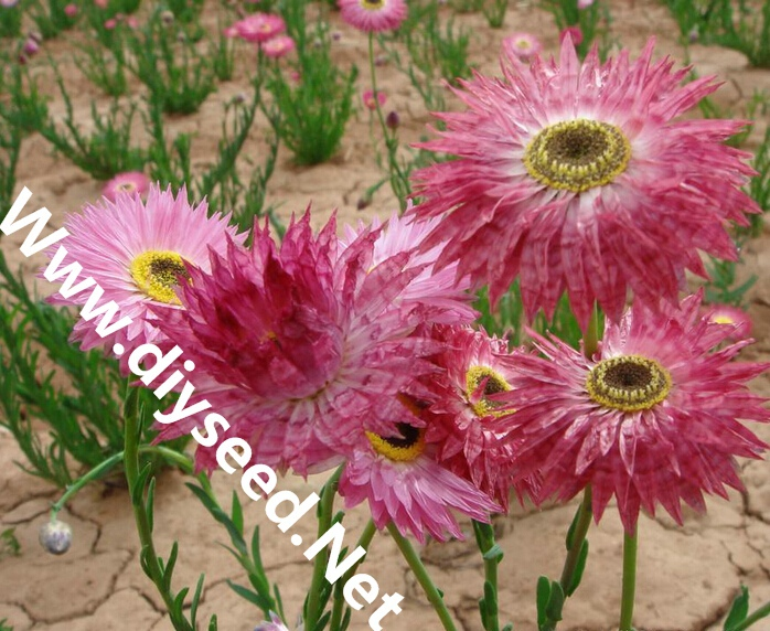 Online Buy Wholesale everlasting flower seeds from China.