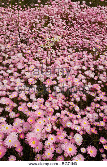 Pink And White Everlasting Stock Photos & Pink And White.