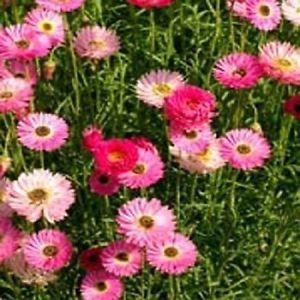Paper Daisy Rose (Helipterum Roseum Rose) 50 Seeds Garden Seeds 2u.