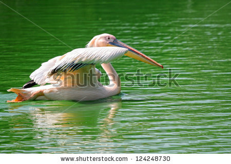 Rosy Pelican Stock Photos, Royalty.