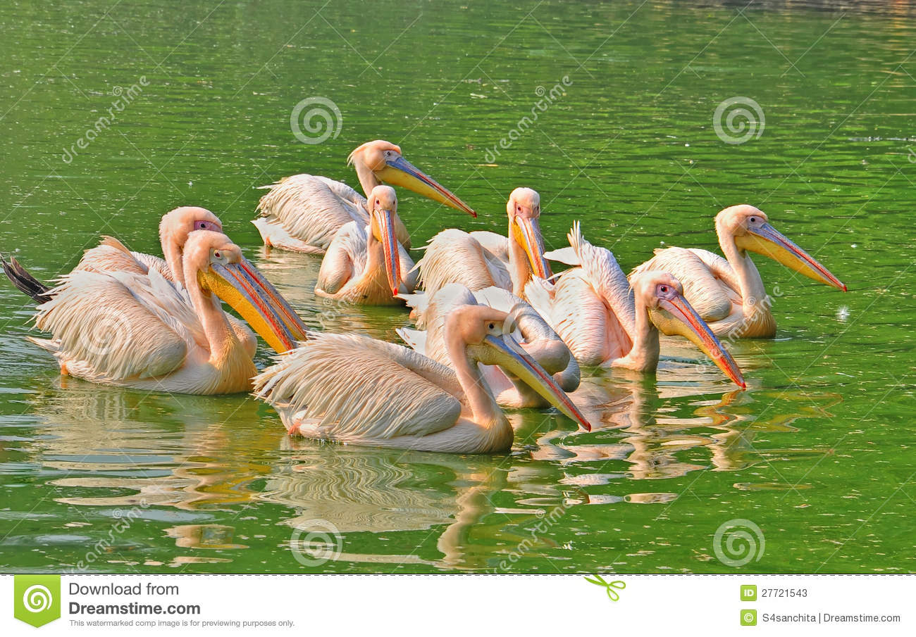 Flock Of Rosy Pelican Stock Photos.