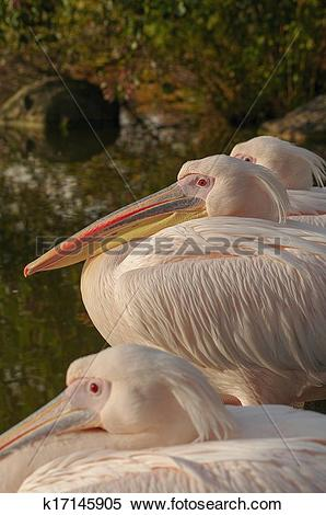 Stock Image of Rosy Pelicans at the Luise Park in Mannheim.