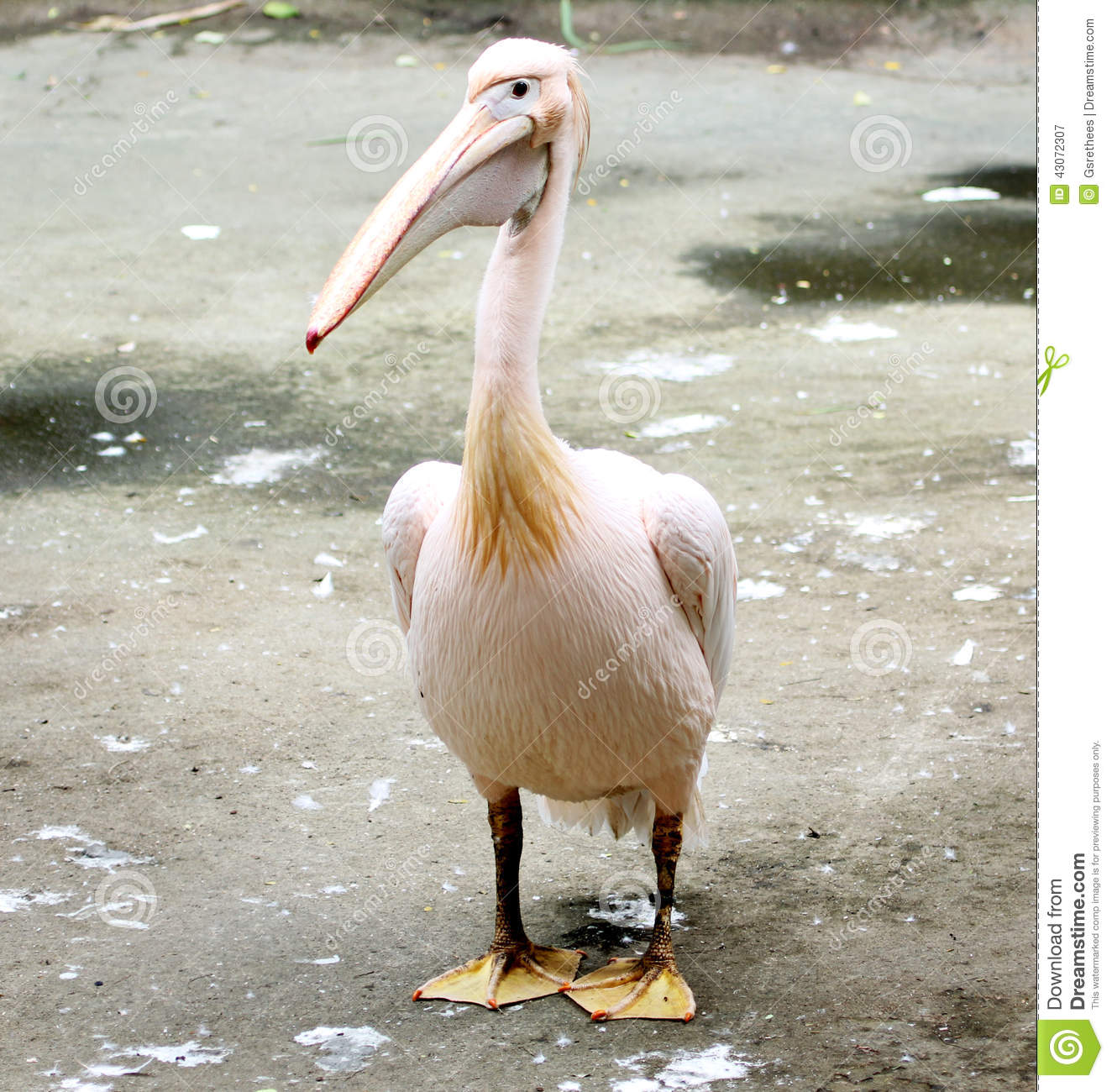 Rosy Pelican Stock Photo.