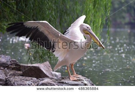 Pelicans Stock Photos, Royalty.