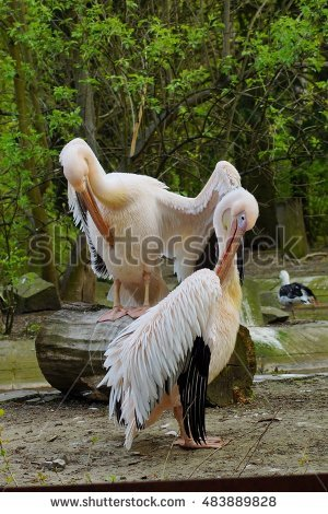 Pelican Stock Photos, Royalty.