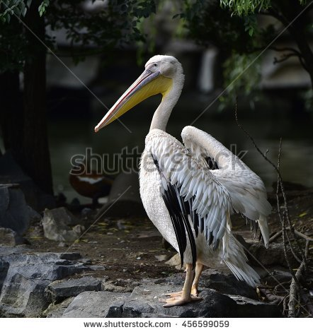 Rosy Pelican Stock Photo 456598990.