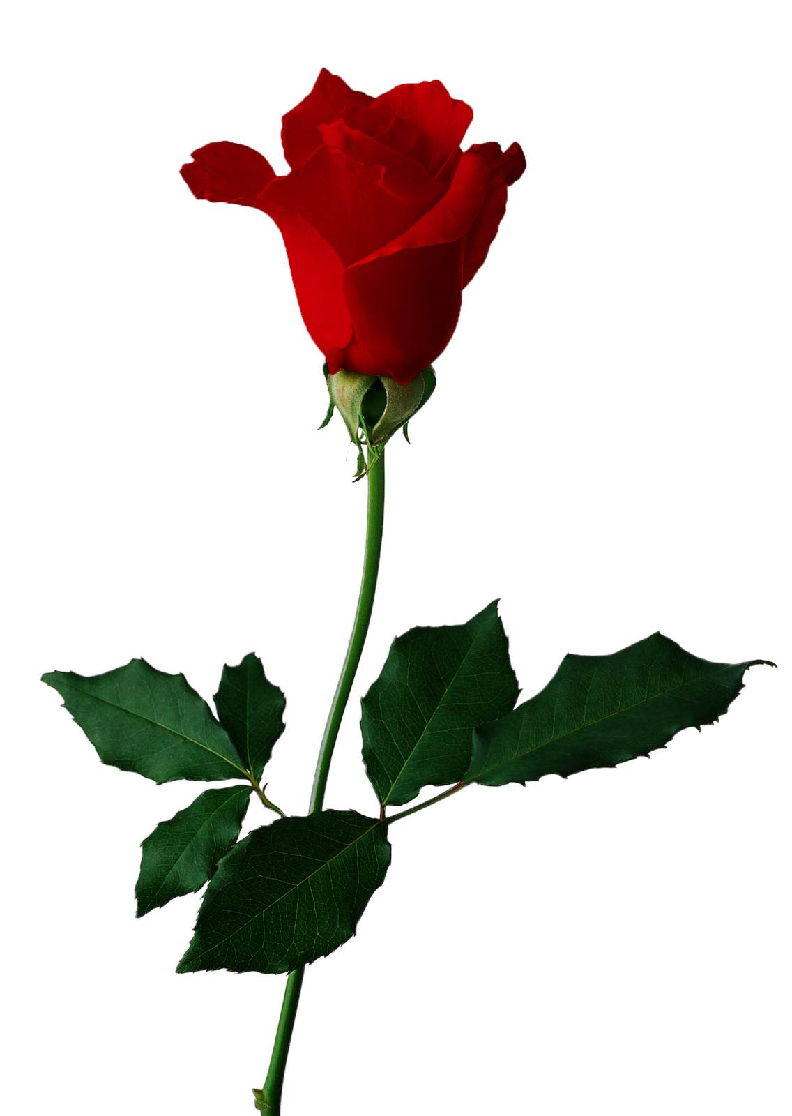 Free Rose Graphics, Download Free Clip Art, Free Clip Art on.