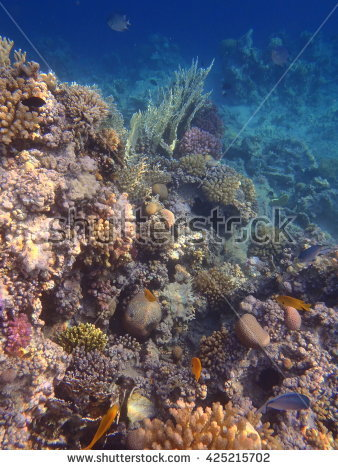 Clown Fish Couple Barracuda Red Sea Stock Photo 371973313.