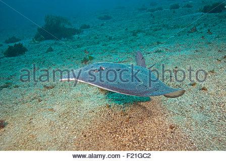 Fish Torpedo Stock Photos & Fish Torpedo Stock Images.