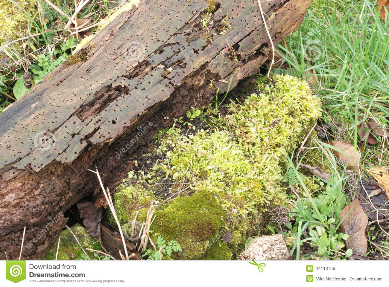 Moss And Lichen On A Rotting Log In A Wildlife Garden Stock Photo.