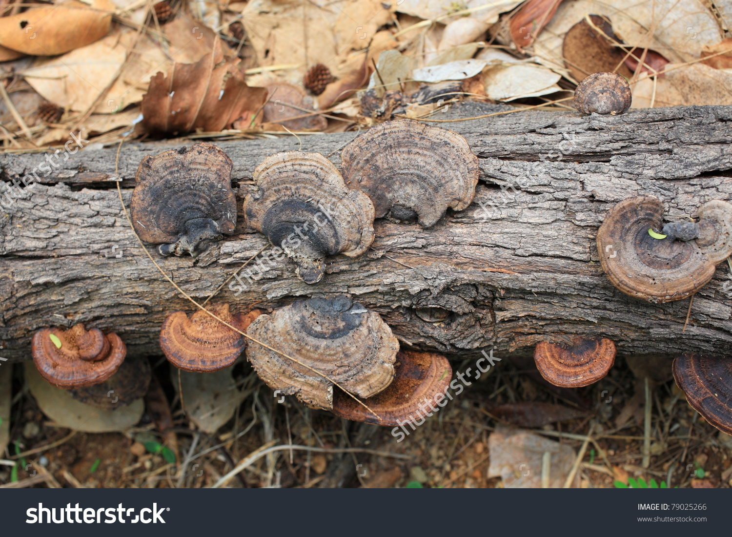 Wild Mushrooms On Rotten Wood Stock Photo 79025266.