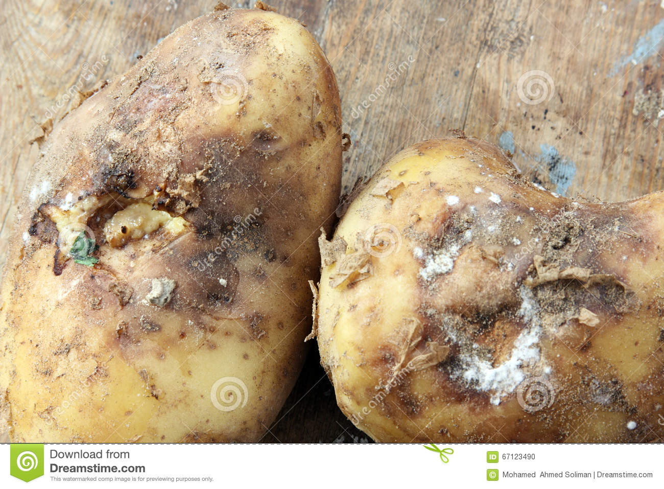 Rotten Potato Stock Photos, Images, & Pictures.