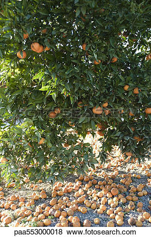 Pictures of Orange tree heavy with fruit surrounded by fallen.