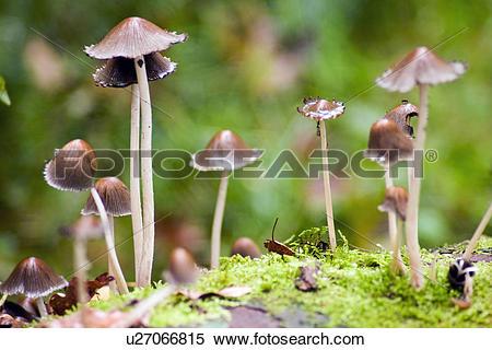 Stock Image of England, Cumbria, Elterwater, Mycena fungi growing.