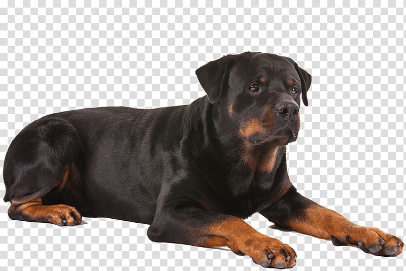 Mahogany rottweiler, Rottweiler German Shepherd French.