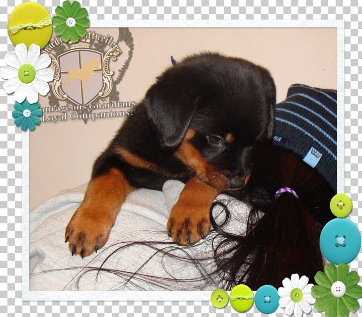 Rottweiler Puppy Dog Breed Snout PNG, Clipart, Animals.