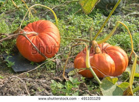 Cucurbita Stock Photos, Royalty.
