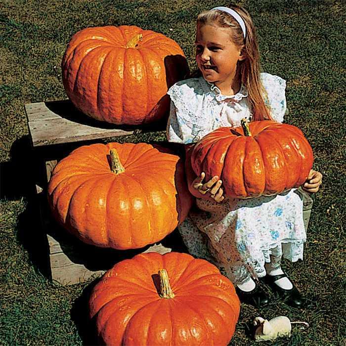 Rouge Vif D Etampes Pumpkin.