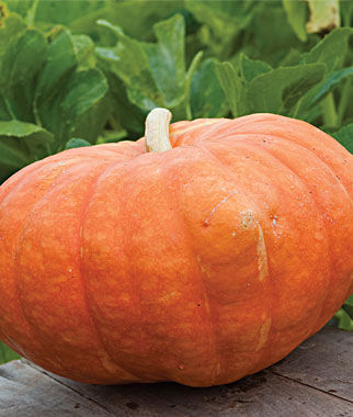 Rouge Vif d`Etampes Pumpkin Seeds and Plants, Vegetable Gardening.