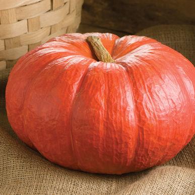 Rouge Vif D'Etampes Pumpkin Seed.