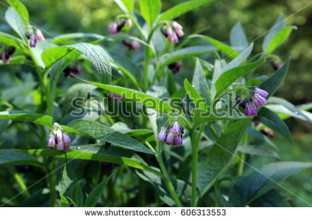 Comfrey Leaves Stock Images, Royalty.