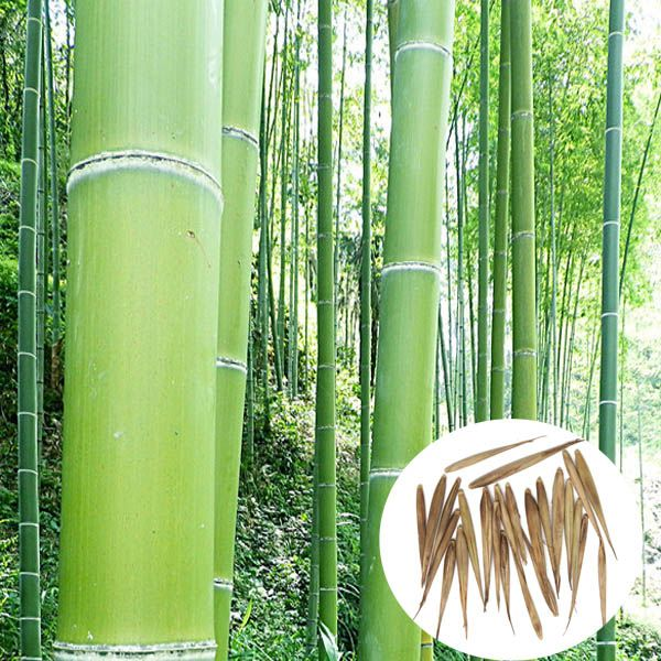 17 best ideas about Bamboo Seeds on Pinterest.