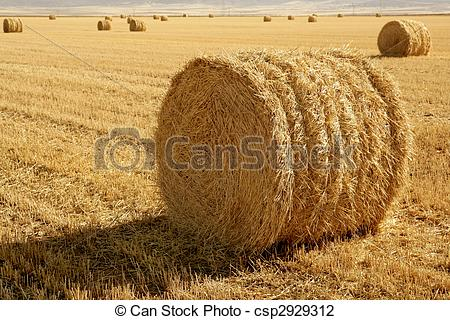 Stock Photo of Hay round bale of dried wheat cereal.