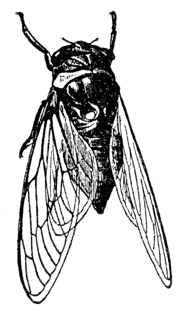 1000+ images about Cicadas on Pinterest.