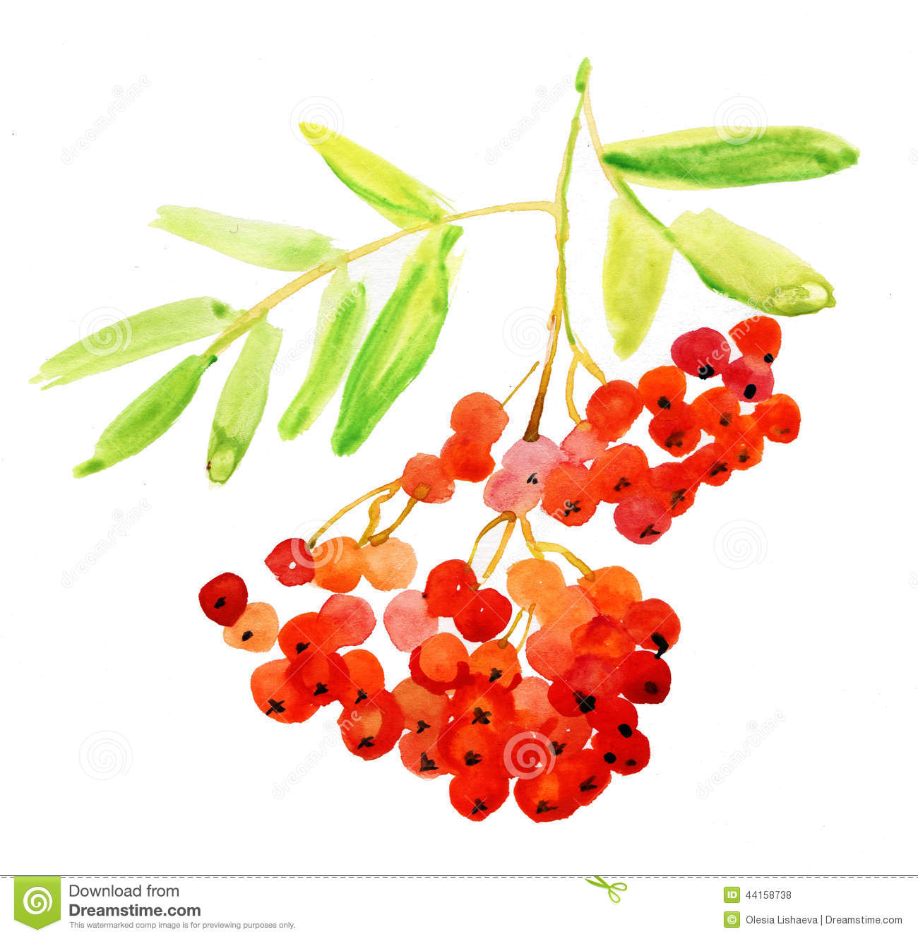Rowan Berries, Twig. Watercolor Painting. Stock Illustration.