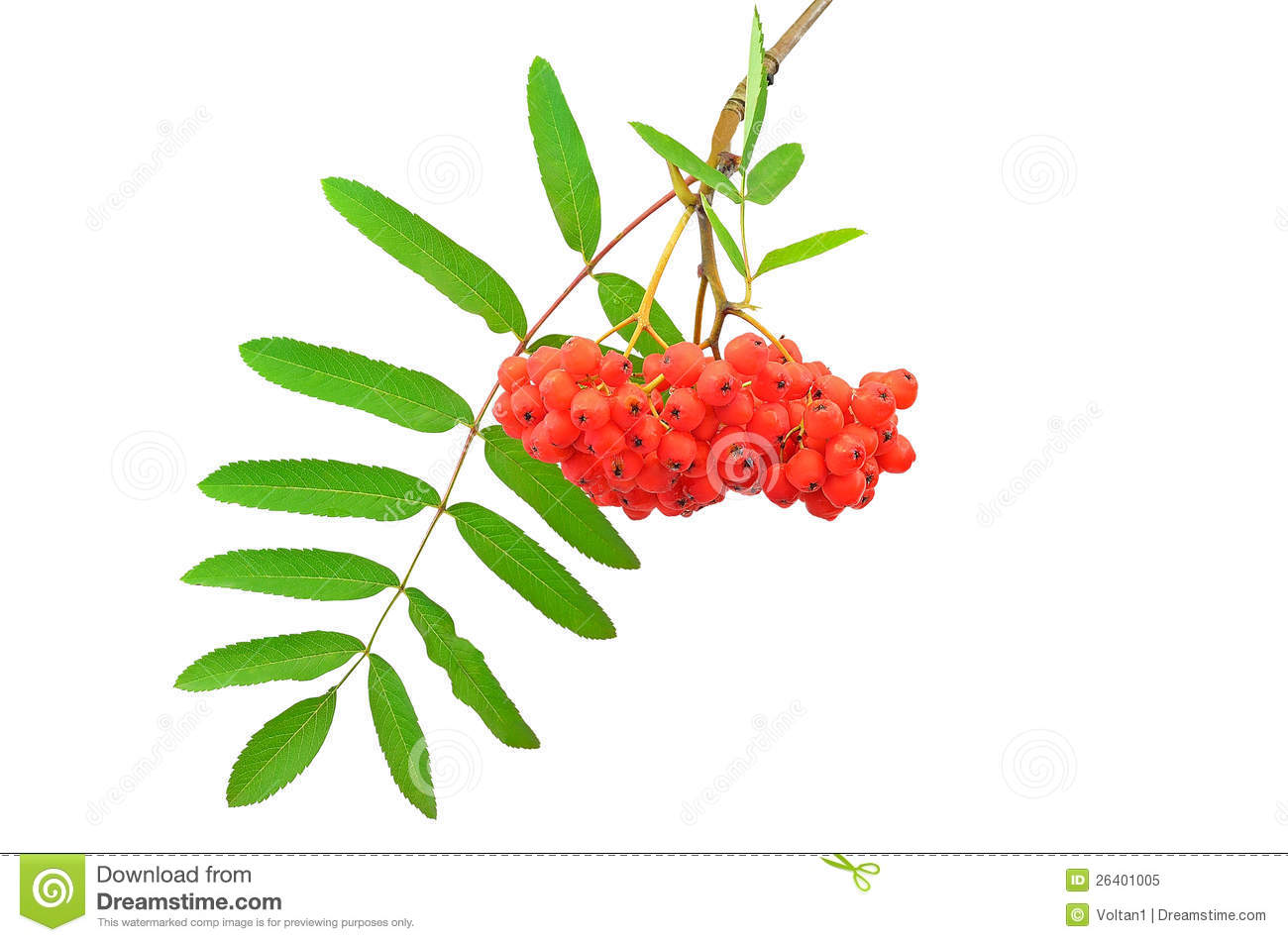 Branch Of The Rowan Berries Royalty Free Stock Photo.