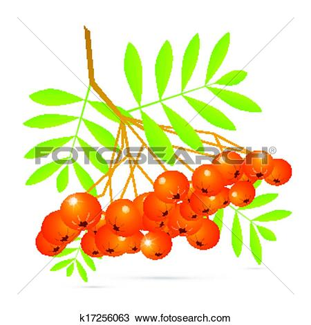 Clipart of Illustration of Rowan Berries Isolated on White.