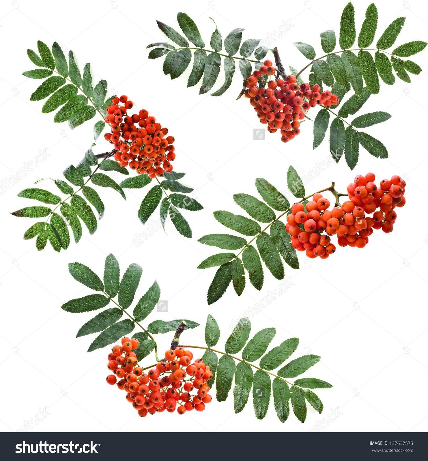 Bunch Red Rowan Berries Collection Close Stock Photo 137637575.