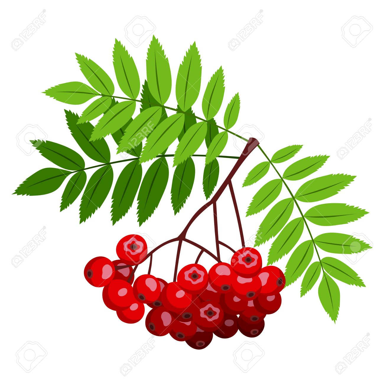 Rowan Berries Clipart Clipground