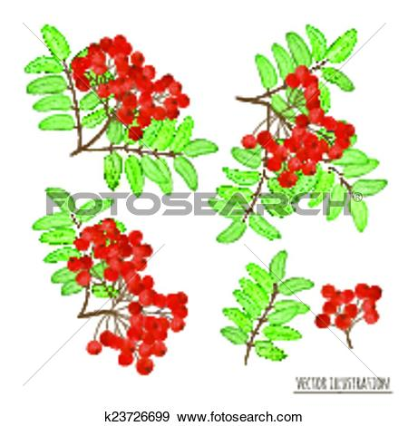 Clip Art of Set of rowan berries with leaves isolated k23726699.
