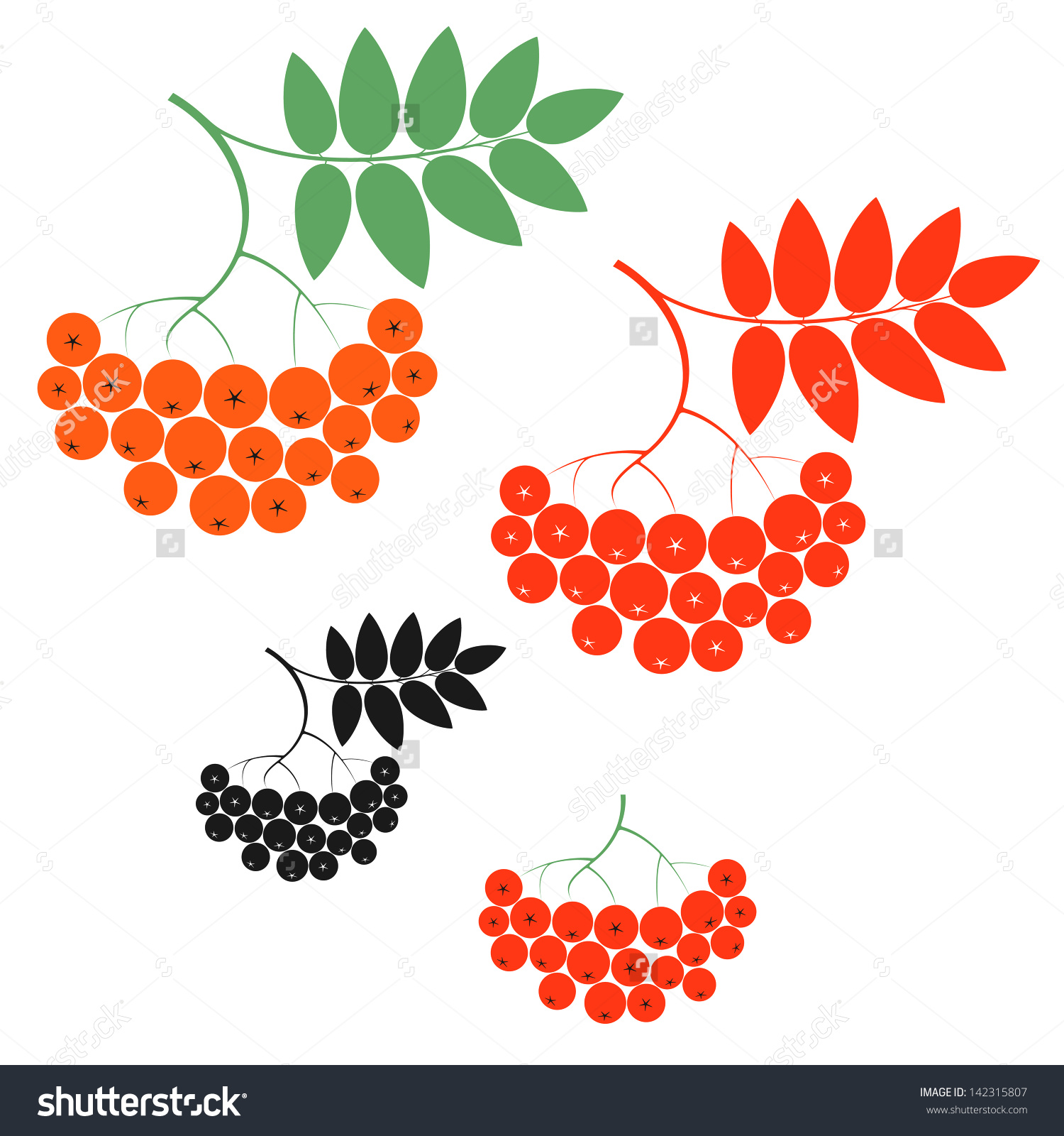 Rowan Berry Stock Vector Illustration 142315807 : Shutterstock.