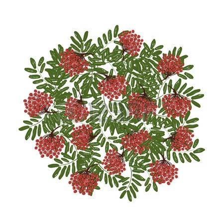 3,602 Rowan Berries Stock Vector Illustration And Royalty Free.