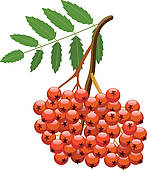 Clipart of vector berries of mountain ash tree k13294185.