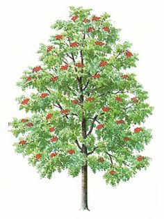 Image result for rowan tree