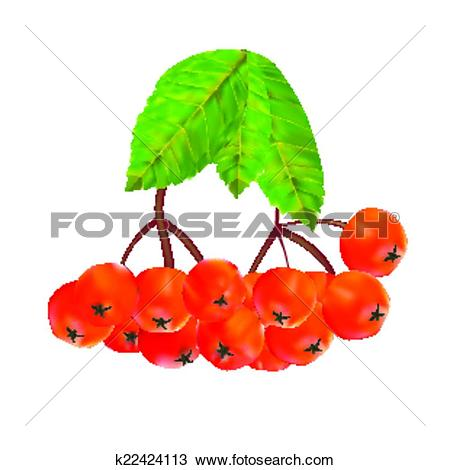 Clipart of Rowan Berries and Leaves Vector Illustration k22424113.