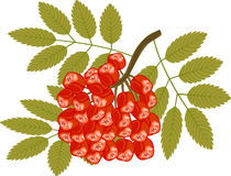 Bunch Red Rowan Isolated White Stock Illustrations.