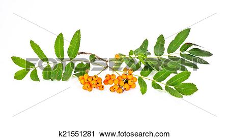 Clipart of Wild ash or Sorbus, or Sorb, or Rowanberry, or Rowan.